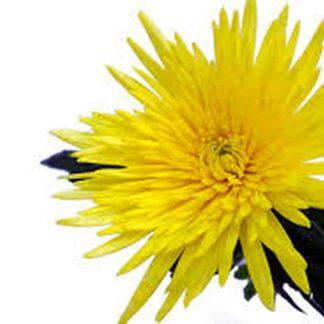Хризантема Анастасия жёлтая