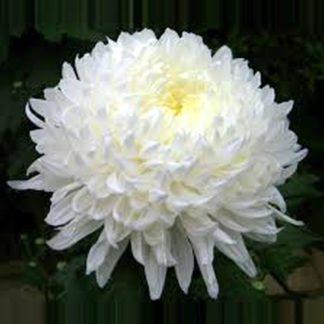Хризантема Антонова белая