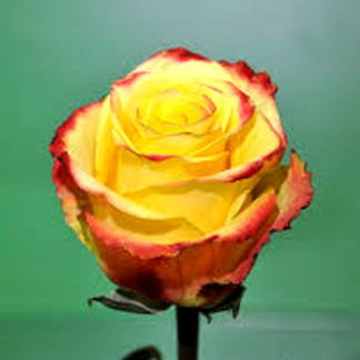 Роза Хайлоу